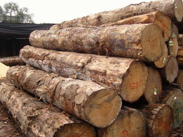 RADIATA PINE LOGS FROM SOUTH AMERICA